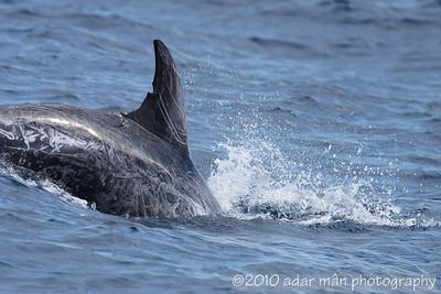 Risso's Dolphin Sydney, NSW April, 2010 IMG_2467