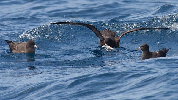 Black Petrel, Flesh-footed Shearwater Hauraki Gulf, NZ December 22, 2010 IMG_2761