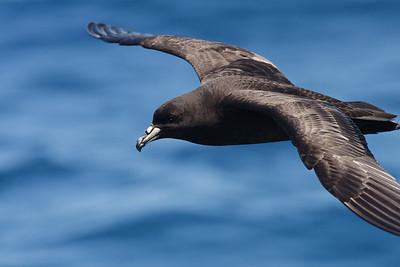 Black Petrel Hauraki Gulf, NZ December 22, 2010 IMG_3666