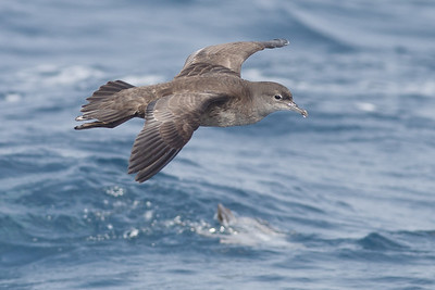 Short-tailed Shearwater Hauraki Gulf, NZ December 22, 2010 IMG_2683