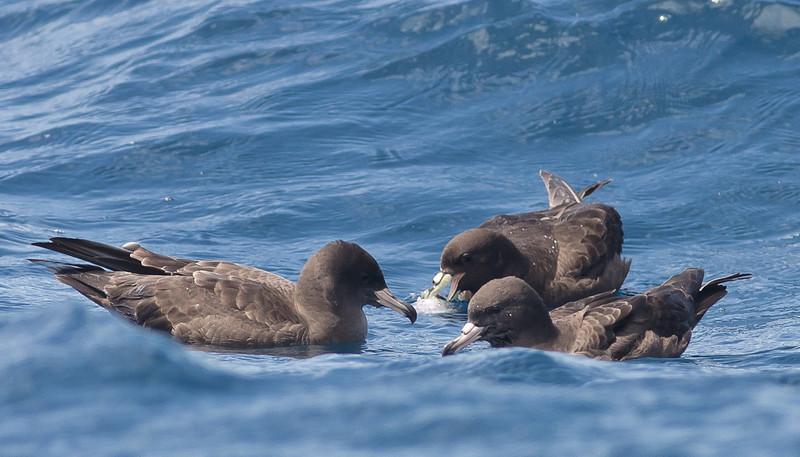 Black Petrel, Flesh-footed Shearwater Hauraki Gulf, NZ December 22, 2010 IMG_2766