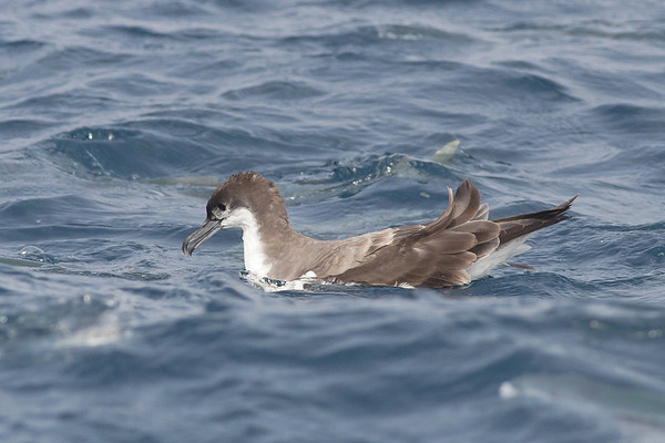 Buller's Shearwater Hauraki Gulf, NZ December 22, 2010 IMG_2670