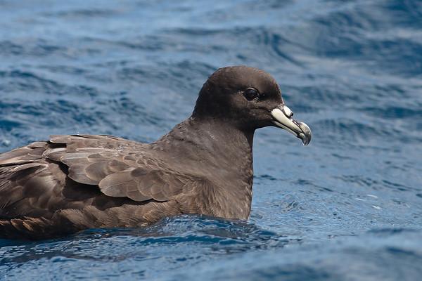 Black Petrel Hauraki Gulf, NZ December 22, 2010 IMG_2838