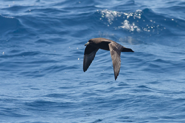 Black Petrel Hauraki Gulf, NZ December 22, 2010 IMG_3124