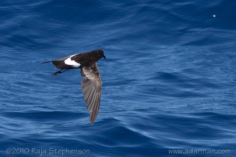 Wilson's Storm-petrel Southport, QLD August, 2010 IMG_5718