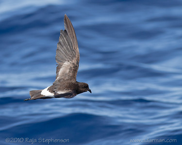Wilson's Storm-petrel Southport, QLD August, 2010 IMG_5636