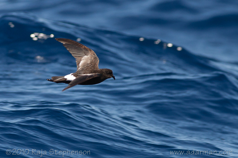 Wilson's Storm-petrel Southport, QLD August, 2010 IMG_5601