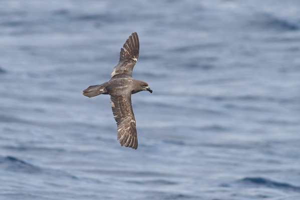 Providence Petrel Southport, QLD August 17, 2013 IMG_1257