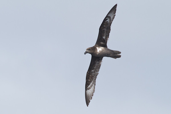 Providence Petrel Southport, QLD August 17, 2013 IMG_1264