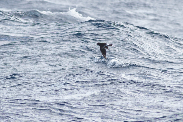 Wilson's Storm-petrel Southport, QLD August 17, 2013 IMG_1520