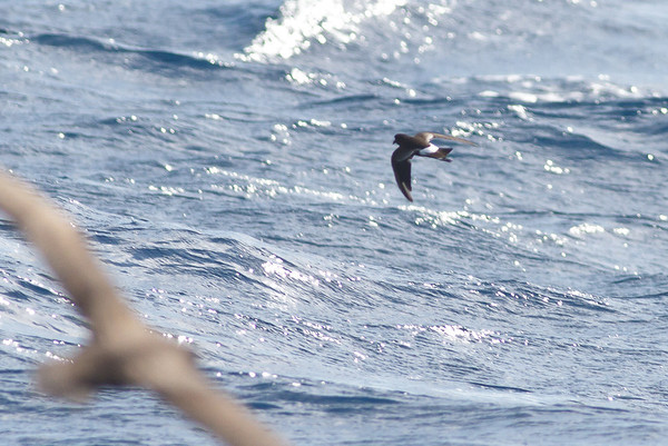 Wilson's Storm-petrel Southport, QLD August 17, 2013 IMG_1541