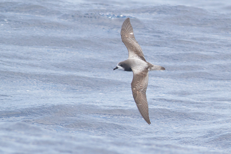 Gould's Petrel Southport, QLD October 20, 2013 IMG_8372
