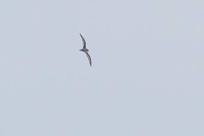 Mottled Petrel (Pterodroma inexpectata)