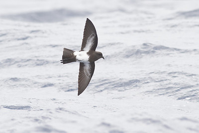 Black-bellied Storm-petrel Southport, QLD October 20, 2013 IMG_7962