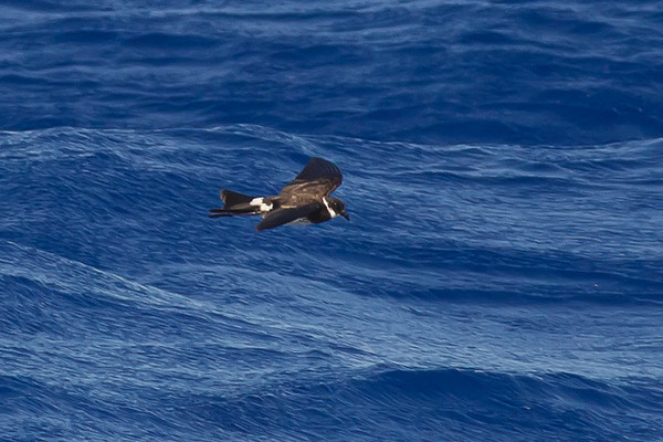 Polynesian Storm-petrel (Nesofregetta fuliginosa)