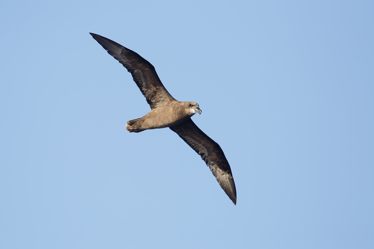Grey-faced Petrel (Pterodroma macroptera gouldi)