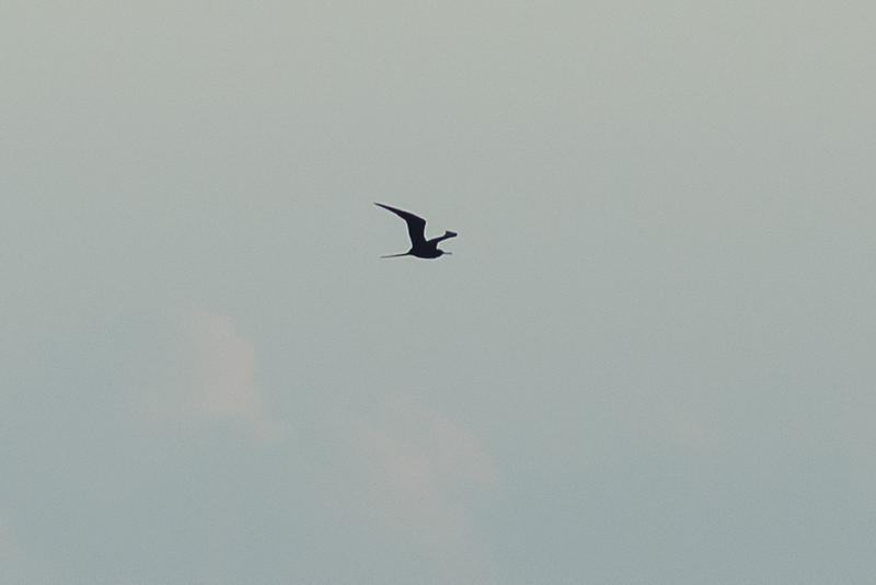 Frigatebird sp.