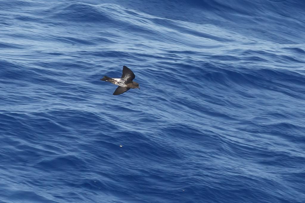 """""""New Caledonia"""" Storm-petrel (undescribed taxon)"""