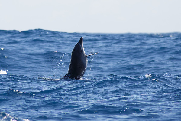 Oceanic Bottlenose Dolphin