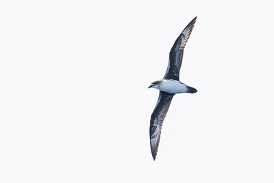 Herald Petrel (Pterodroma heraldica)
