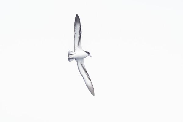 Gould's Petrel (Pterodroma leucoptera)