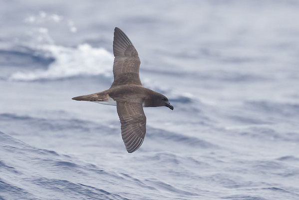 Tahiti Petrel (Pseudobulweria rostrata)
