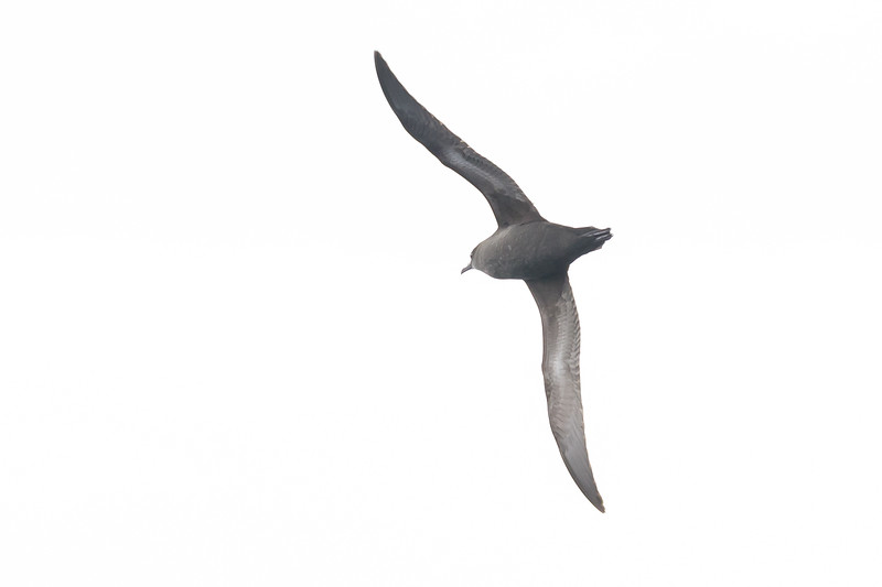 Short-tailed Shearwater (Ardenna tenuirostris)