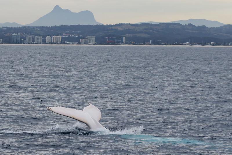 Migaloo - albino Humpback Whale