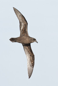 Great-winged Petrel Port Macdonnell, SA May 11, 2013 IMG_6807