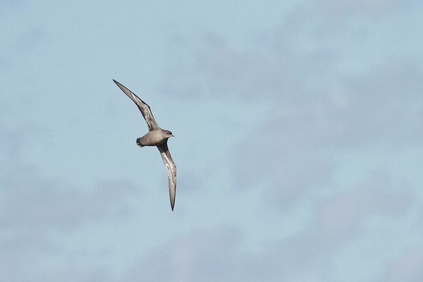 Sooty Shearwater Port Macdonnell, SA May 11, 2013 IMG_6880