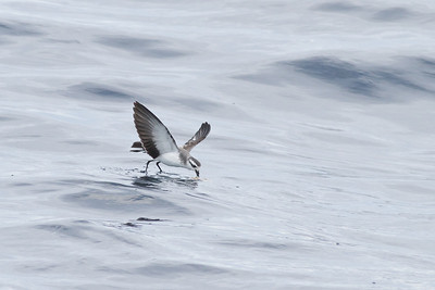 White-faced Storm-petrel Port Macdonnell, SA May 11, 2013 IMG_7055