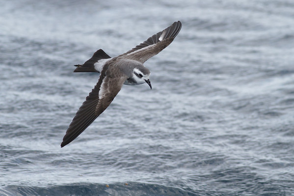 White-faced Storm-petrel Port Macdonnell, SA May 11, 2013 IMG_7037