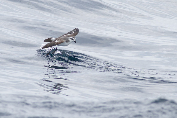 White-faced Storm-petrel Port Macdonnell, SA May 11, 2013 IMG_7052