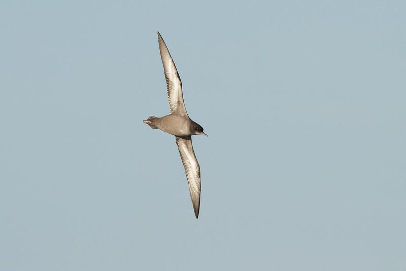 Short-tailed Shearwater Port Macdonnell, SA May 11, 2013 IMG_6646