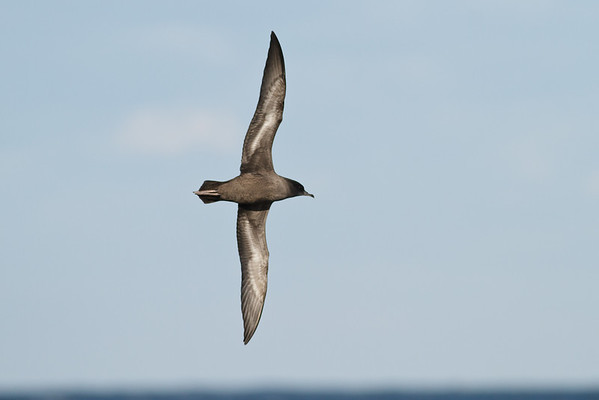 Short-tailed Shearwater Port Macdonnell, SA May 11, 2013 IMG_6735