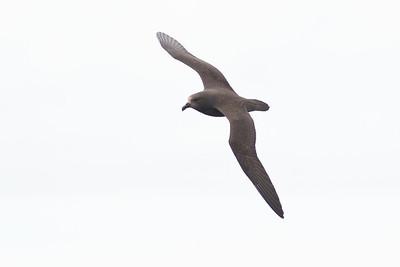 Great-winged Petrel Port Macdonnell, SA May 11, 2013 IMG_7289