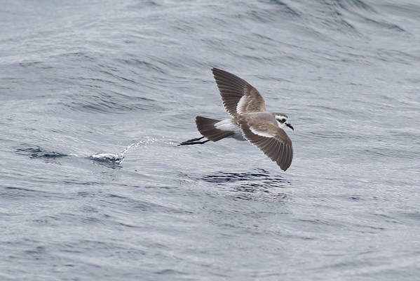 White-faced Storm-petrel Port Macdonnell, SA May 11, 2013 IMG_7134