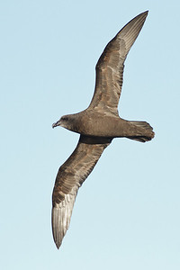 Great-winged Petrel Port Macdonnell, SA May 11, 2013 IMG_6541