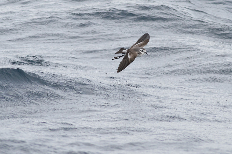 White-faced Storm-petrel Port Macdonnell, SA May 11, 2013 IMG_7173
