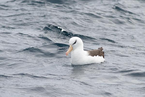 Black-browed Albatross Port Macdonnell, SA May 11, 2013 IMG_7145