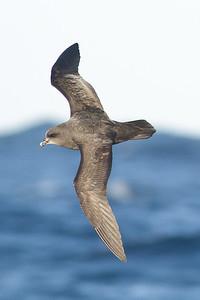 Great-winged Petrel Port Macdonnell, SA May 11, 2013 IMG_6568
