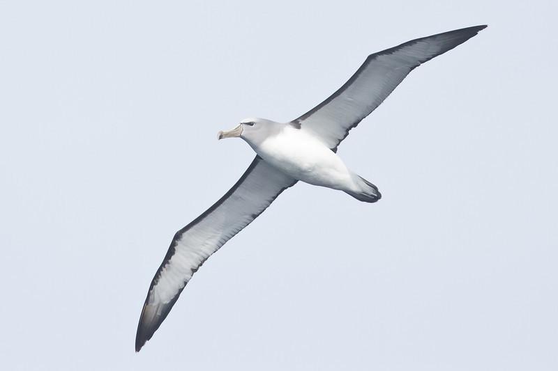 Salvin's Albatross Eaglehawk Neck, TAS September 03, 2011 IMG_0614