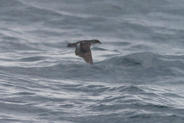 Common Diving-petrel Eaglehawk Neck, TAS September 03, 2011 IMG_0950