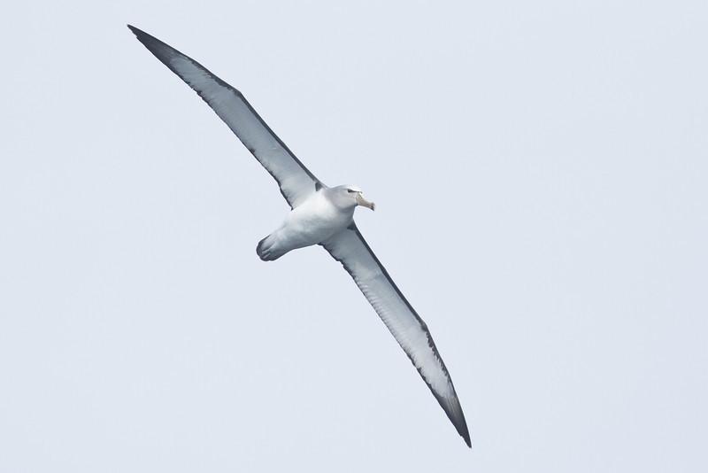 Salvin's Albatross Eaglehawk Neck, TAS September 03, 2011 IMG_0598