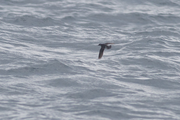Common Diving-petrel Eaglehawk Neck, TAS September 03, 2011 IMG_0959