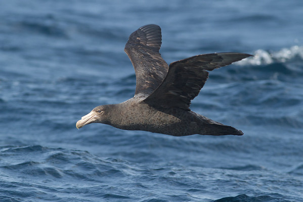 Northern Giant-petrel Eaglehawk Neck, TAS September 03, 2011 IMG_0506