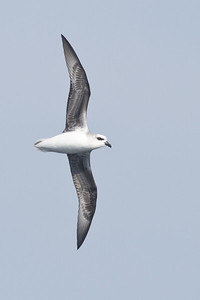 White-headed Petrel (Pterodroma lessonii)