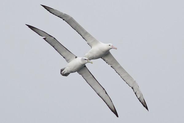 Shy Albatross, Wandering Albatross Eaglehawk Neck, TAS September 04, 2011 IMG_7024