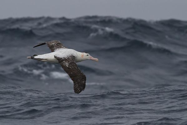 Wandering Albatross Eaglehawk Neck, TAS September 04, 2011 IMG_6952
