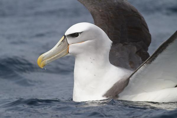 Shy Albatross Eaglehawk Neck, TAS September 04, 2011 IMG_7734